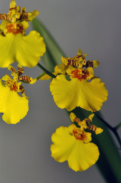 Hawaiian Gower Ramsey Oncidium Orchid plants