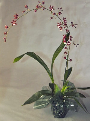 Orchid Plant Gift Box